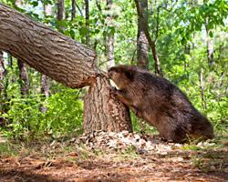 beaver-removal