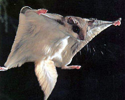 flyingsquirrel-removal