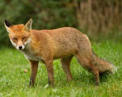 fox-removal