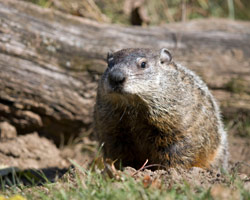 groundhog-removal