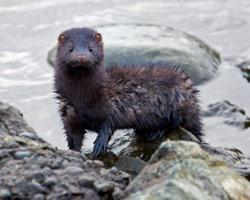 mink-removal