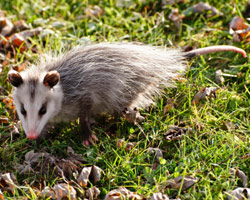 opossum-removal